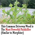 driveway-weed